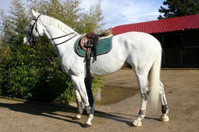 topas kwpn 1977 stallion