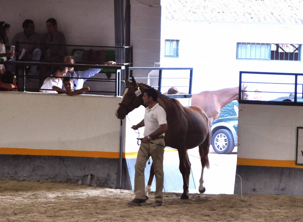 El 3 años angloárabe QUO VADIS de la ganadería Campos Peña